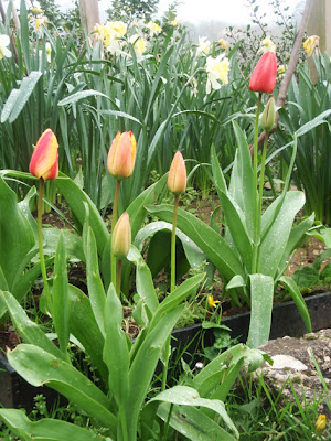 Tulipanes junto a otras bulbosas