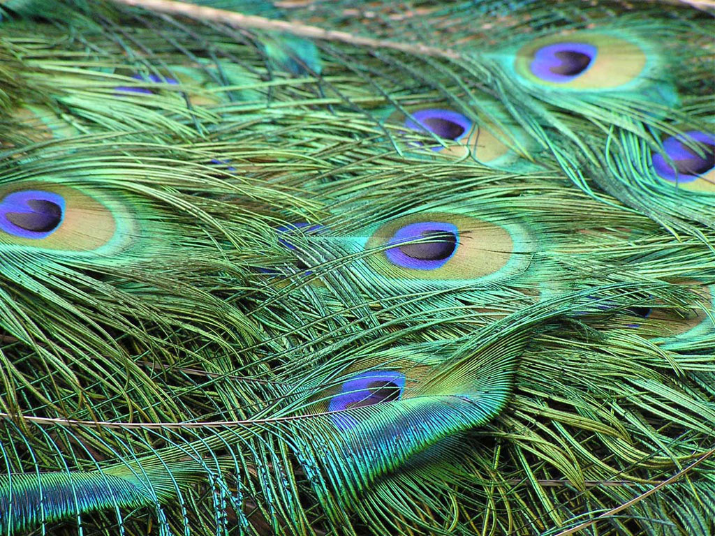 download peacock feather wallpapers - photo #16