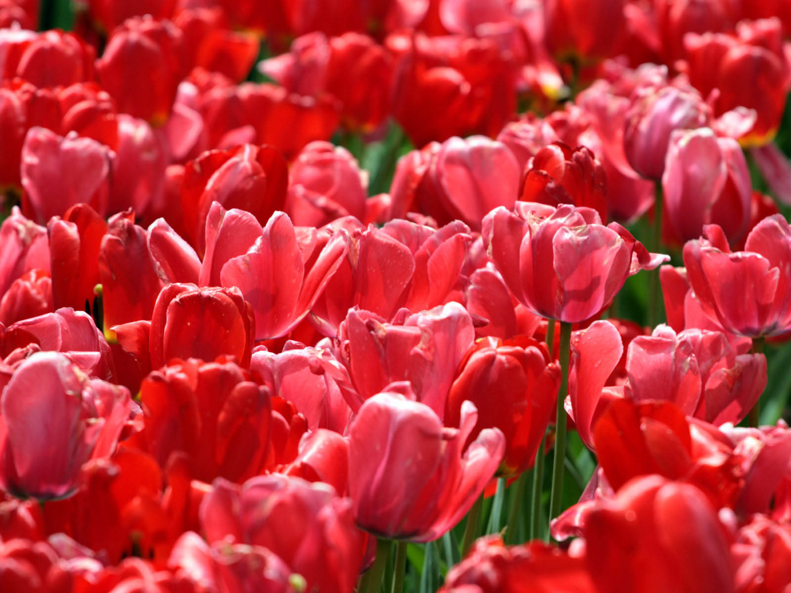 Wallpapers: Red Tulips Wallpapers