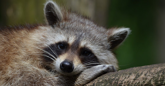 Raccoon Removal in NJ