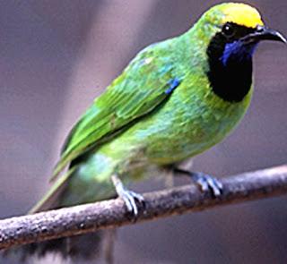 Semua Macam Jenis Burung Cucak Ijo Lengkap dengan Gambar, Mengenal Ciri-ciri Cucak Ijo Sumatra dengan Lebih Mudah, Perbedaan Cucak Ijo Kalimantan dengan Cucak Ijo Sumatra