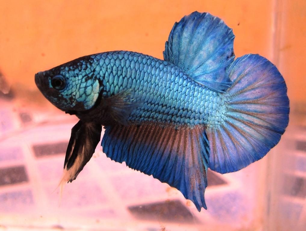 Jenis-jenis ikan cupang - Aquascape Pemula