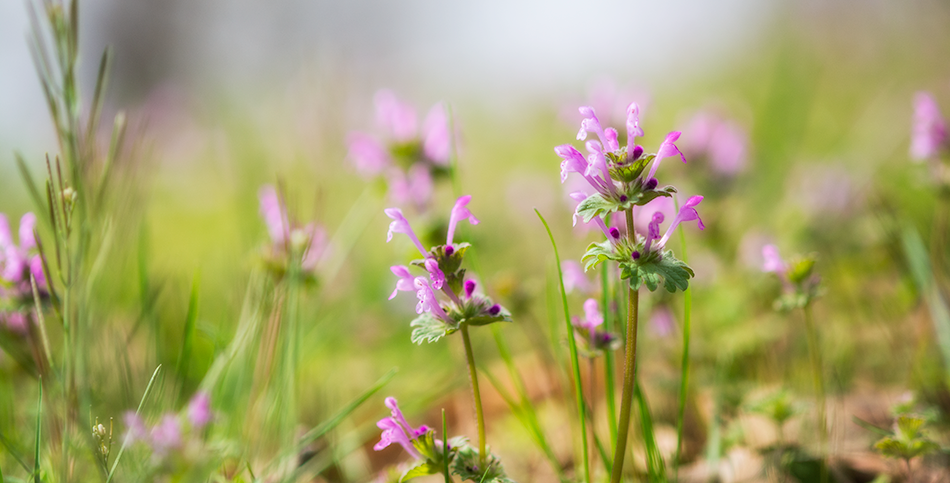 Henbit in the Grass