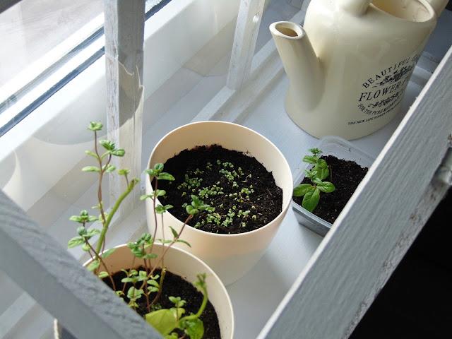 zioła uprawiane w doniczkach