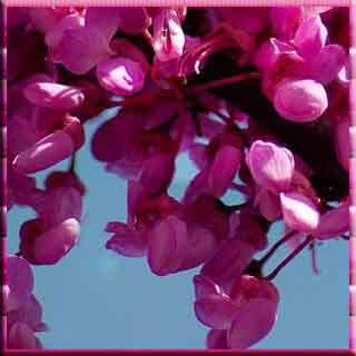 erguvan ağacı erguvan evleri redbud redbud redbud redbud Baum lila Blüte Pavillon beherbergt Istanbul redbud redbud redbud redbud tree purple blossom Pavilion houses Istanbul erguvan rengi erguvan çiçeği erguvan kasrı  İstanbul