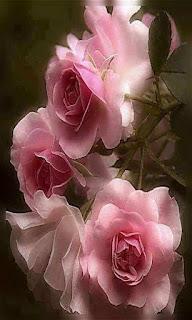 Flores rosas rosas tiernas fondos wallpaper para teléfono móvil resolución 480x800
