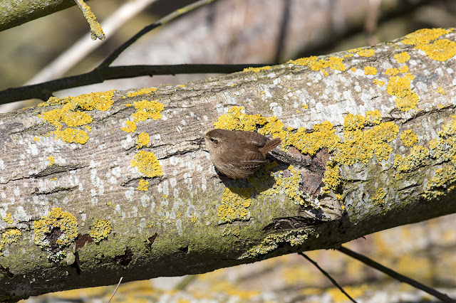 Wren clinging to a fallen log
