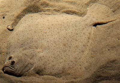 Kamuflase Flatfish