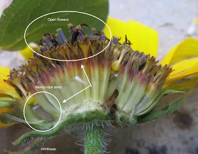 sunflower inflorescence