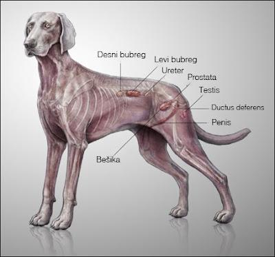 Urogenitalni trakt psa