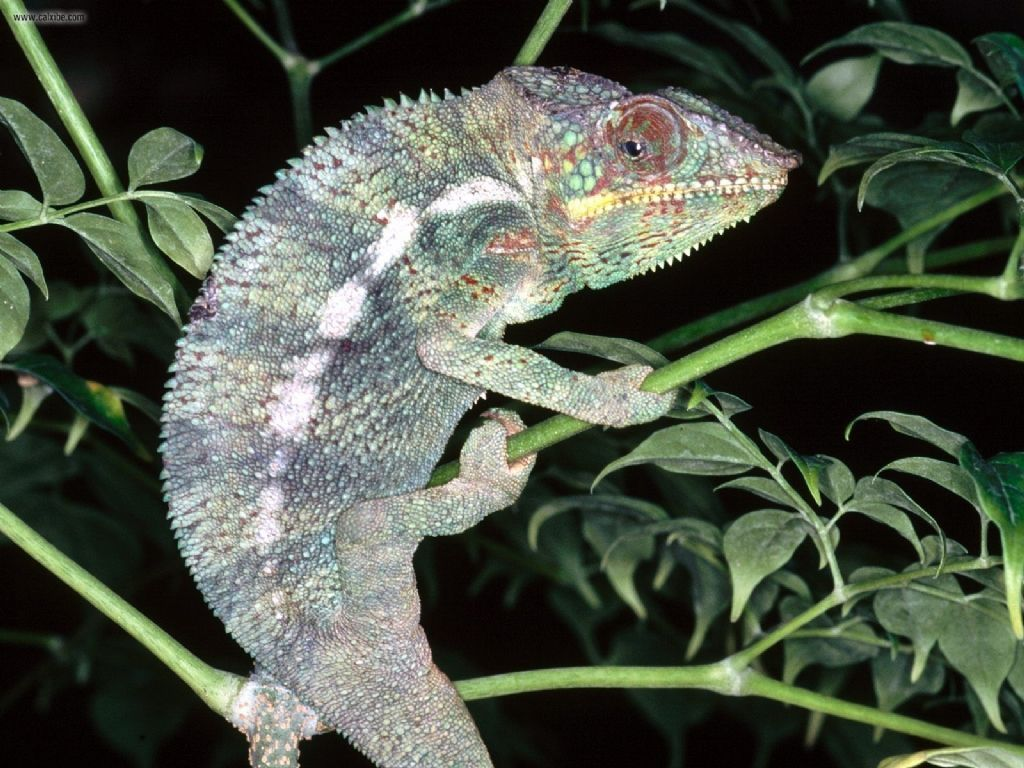 Beautiful and colorful Panther Chameleon pictures ...