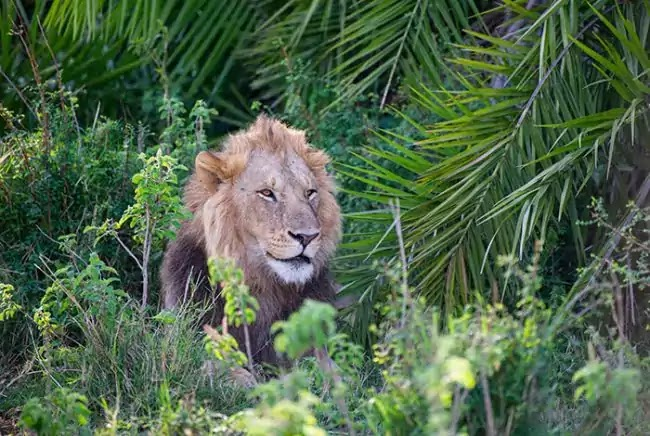 Lion Roars To Photographer, Then Smiles