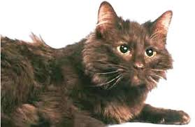 Kucing Chantilly dan Karakteristiknya