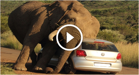 Videos Portal: Elephant Crushed The Cars on Road
