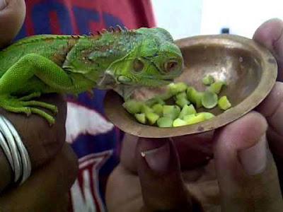 Hình ảnh một chú rồng nam mỹ màu xanh lá cây baby