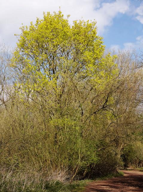 Large oak tree bright yellow green dominates the path