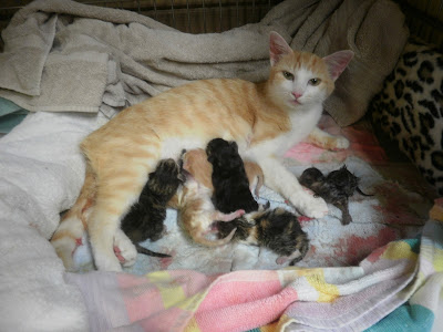Yellow tabby with 6 baby kittens