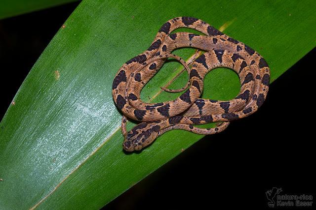 Blunthead Tree Snake - Imantodes cenchoa