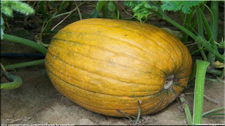 pumpkins fruit images wallpaper