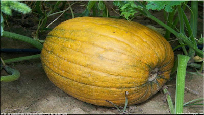 pumpkins fruit pictures