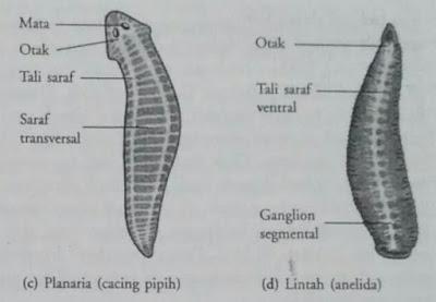 Sistem saraf pada platyhelminthes dan anelida