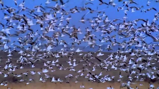 مراقبة الطيور المهاجرة
