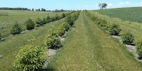 Trees planted as windbreaks for crops in Minnesota, US. (Image Credit: Eli Sagor via Flickr) Click to Enlarge.