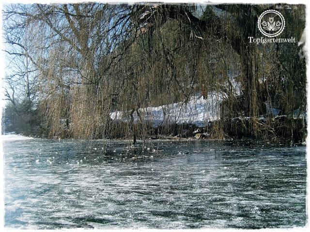 Gartenblog Topfgartenwelt Eislaufen: eingefrorener Baum am Mattsee