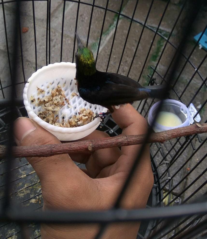 agar kolibri ninja mau makan kroto   cara gacor