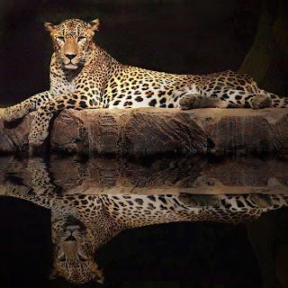 Leopardo y reflejo en el agua