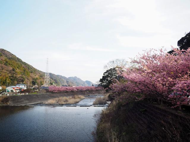 河津川 河津桜
