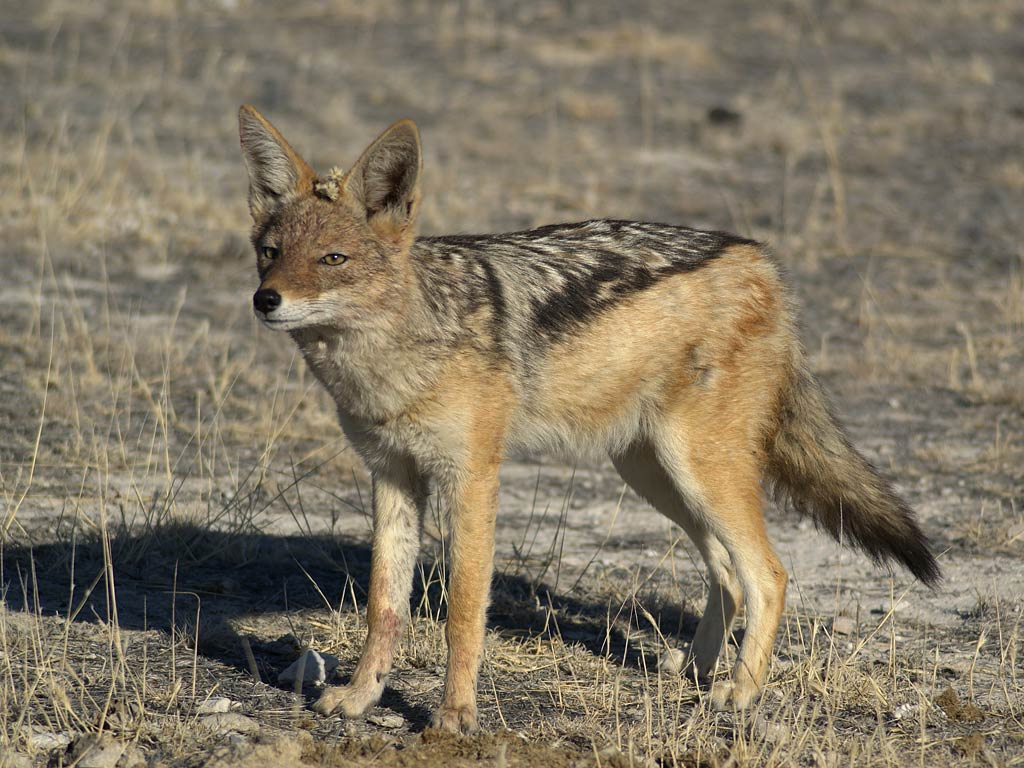 All About Animal Wildlife: Jackal HD Wallpapers 2012