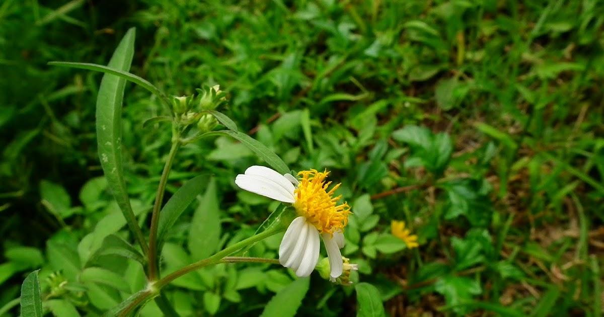 師大附中校園生物資訊網: 野生植物-雙子葉-菊科-大花咸豐草