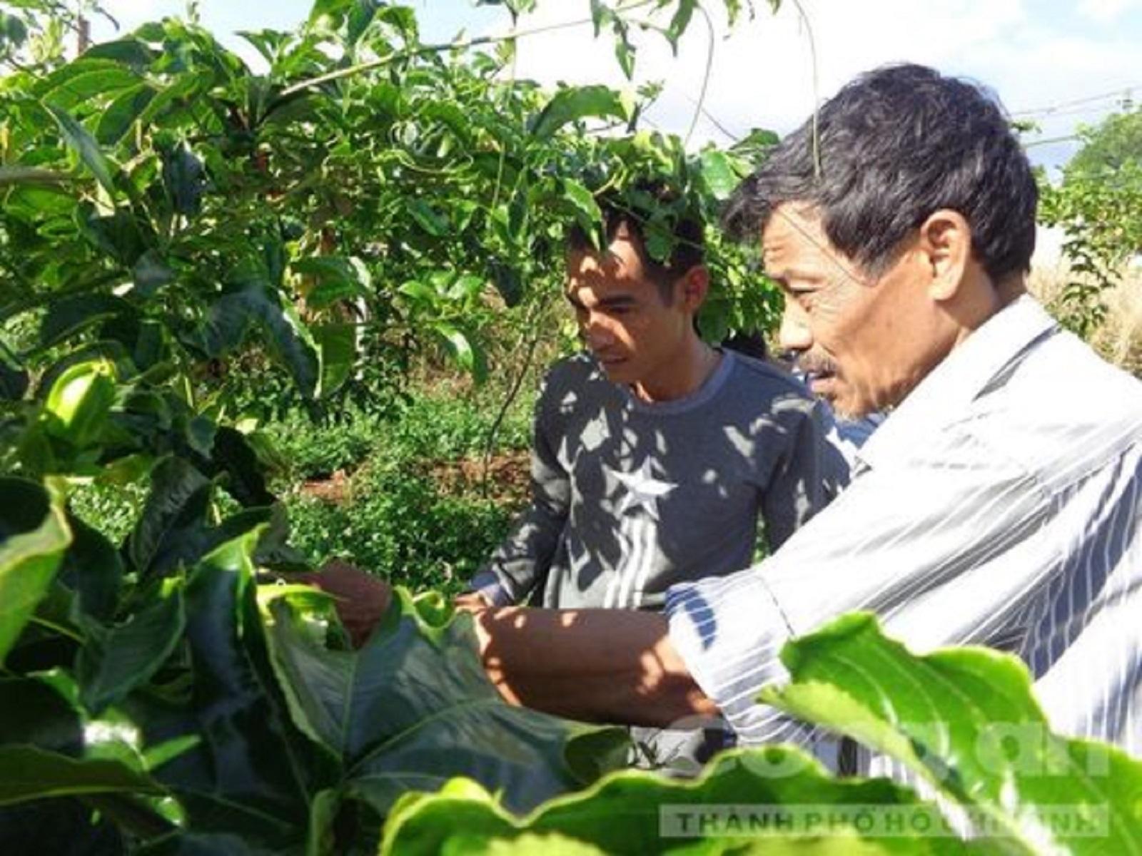 """Gia Lai: Mua phải giống Trung Quốc, nông dân """"chết đứng"""" với chanh dây không quả"""