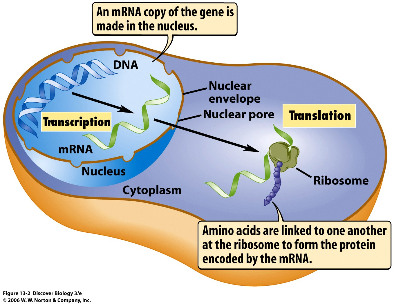 Ms Mora S Biology Blog From Dna To Proteins
