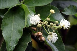 Types des plantes monoïques