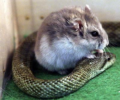Viral! Ular Ini Berteman Dengan Hamster, Dulu Mangsa Sekarang Jadi Teman Baik