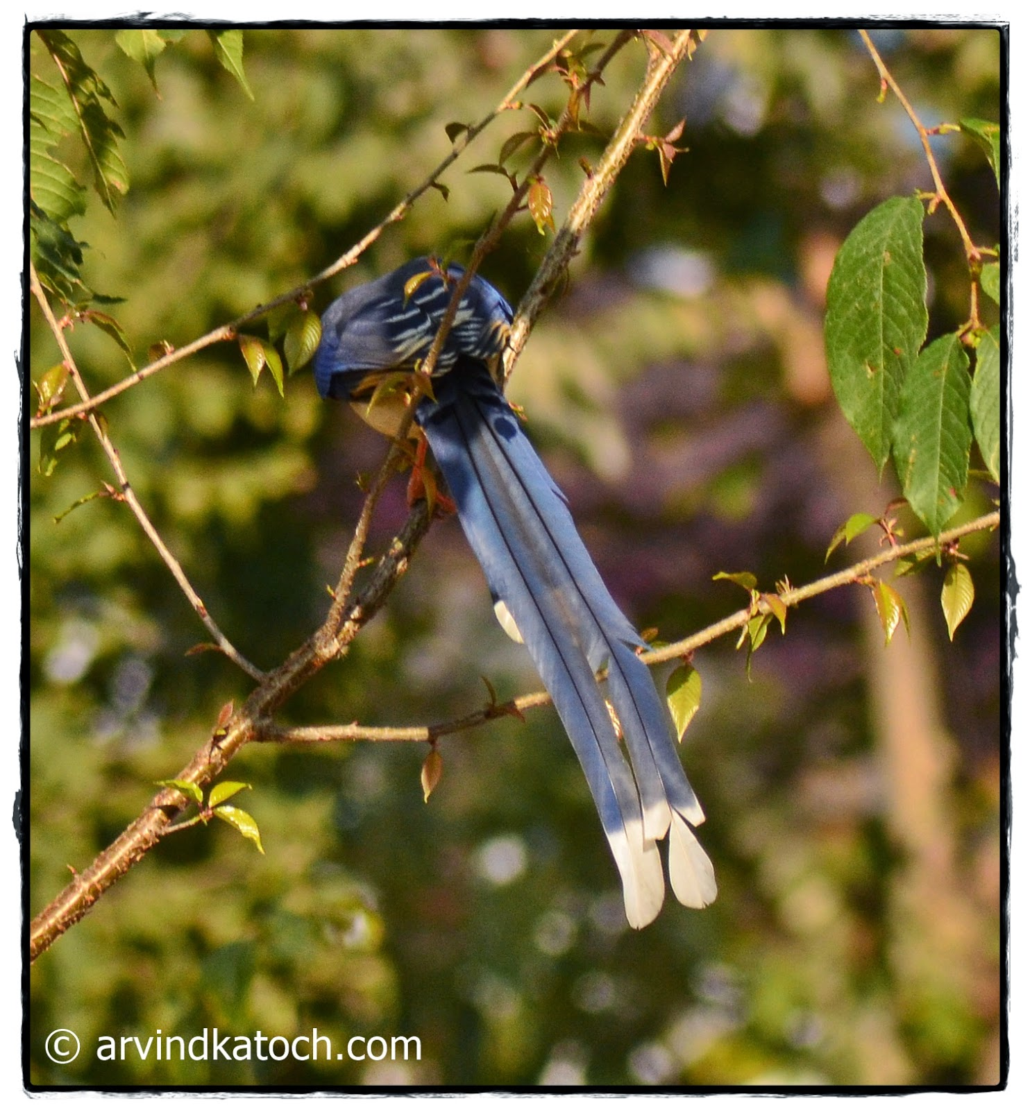 Tail, Beautiful tail, Yellow Billed Blue Magpie
