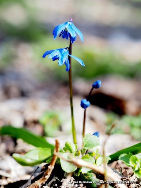 wiosenne kwiatki, wiosna, las bemowski, bemowo, niebieski kwiatek, prosto z lasu, grzybobranie, kwiatuszek
