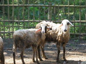 jenis kambing