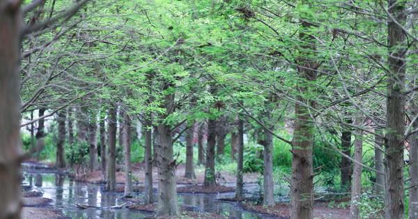 《台中.霧峰》北岸路落羽松-綠綠的落羽松也很漂亮哦