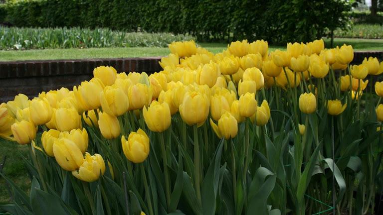 Tulips Flowers HD Wallpaper 9