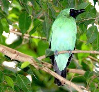 cucak ijo www.burung45.blogspot.com