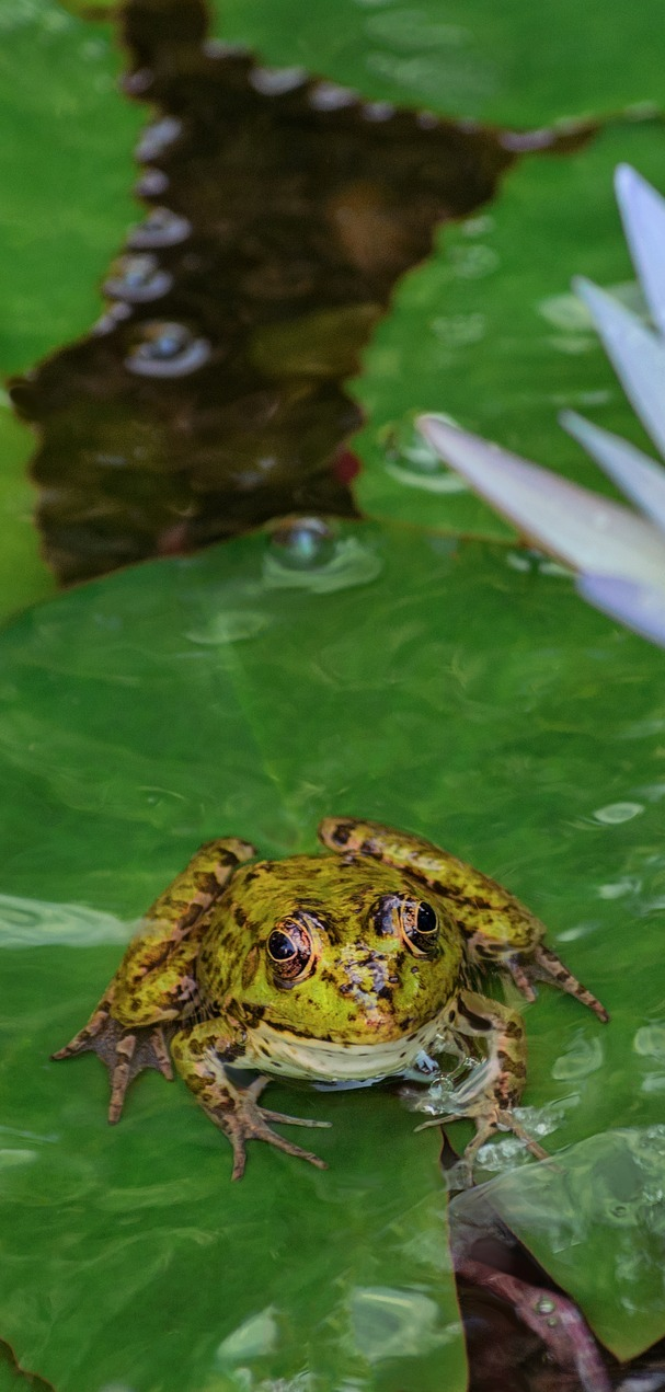 A frog on a water lily.
