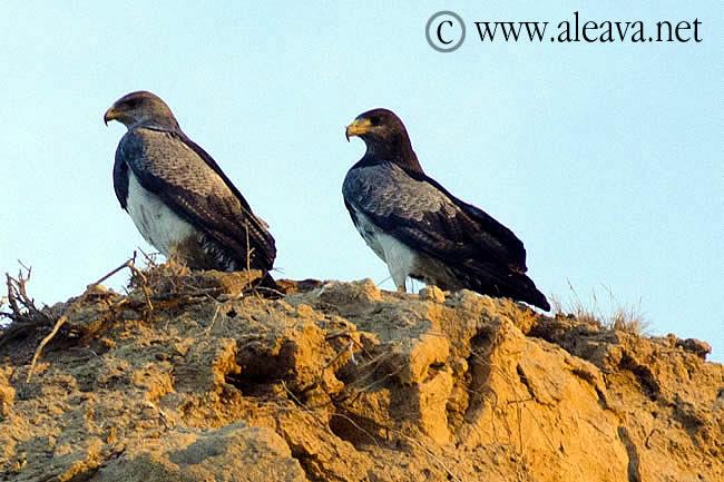 Aguila mora en Península Valdés