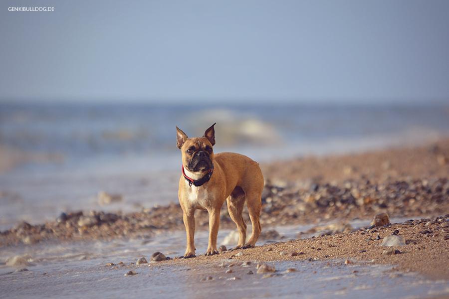 Hundeblog Genki Bulldog - abenteuer einer französischen Bulldogge