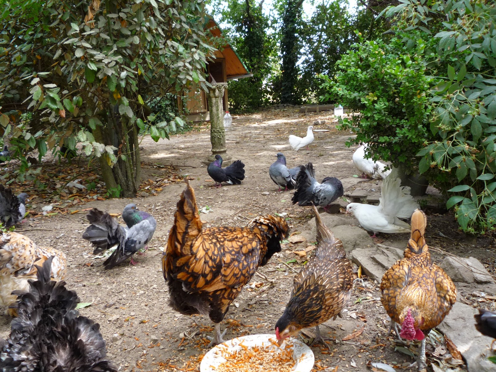 Organic poultry in a forest garden