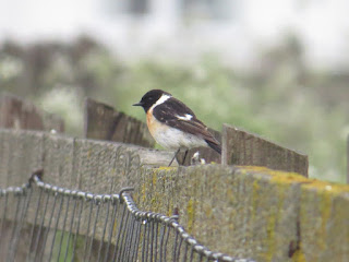 Caspian Stonechat by Amy Robjohns