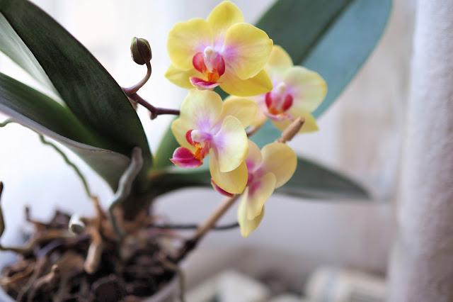 Plante intérieur - Orchidées