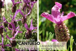 Lavandula stoechas, Cantueso en Fichas de Plantas Aromáticas y Medicinales